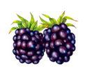 Blackberry Illustration Images &amp Pictures  Becuo